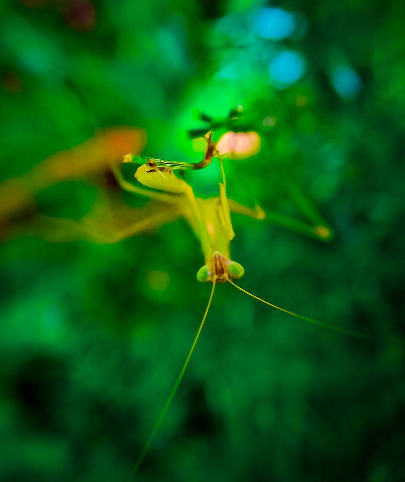 Skaka Mantis