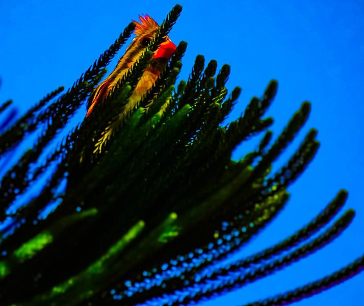 Cardinal Pine