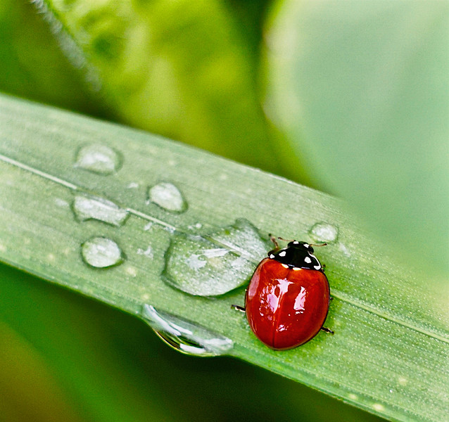 Lady Bug Drops