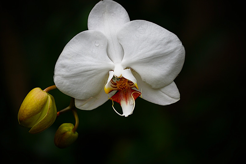Morning Orchid