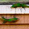 Childish Gecko Behavior