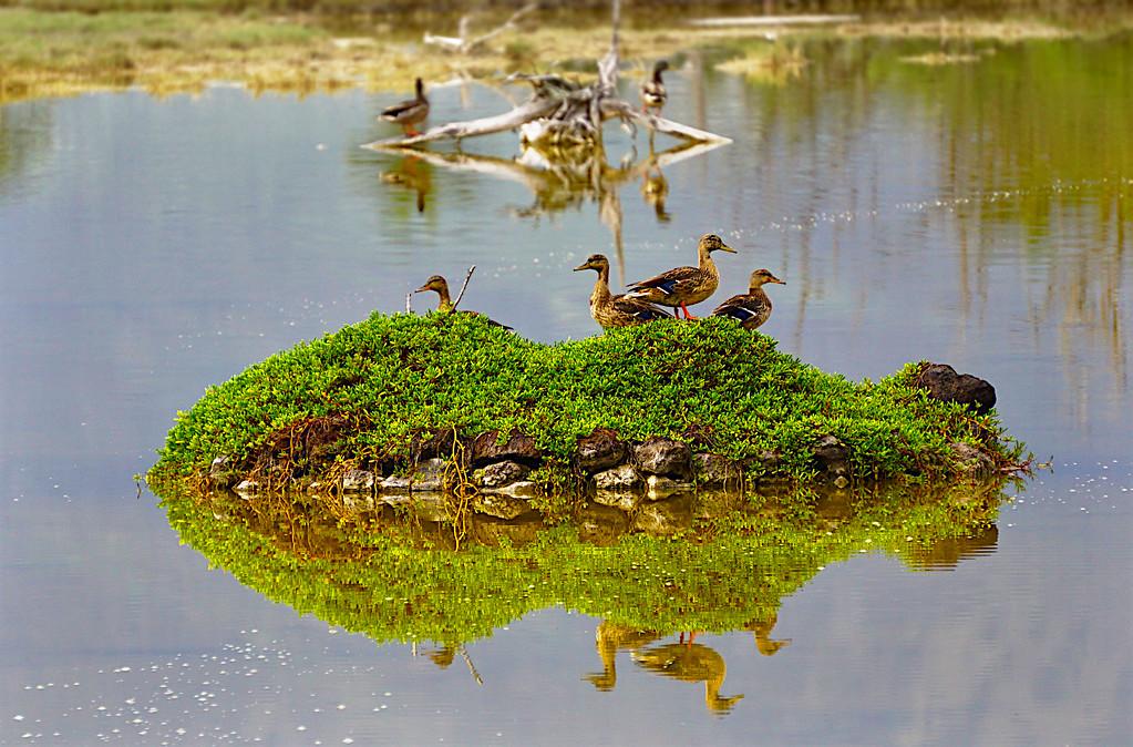 Duck Brood