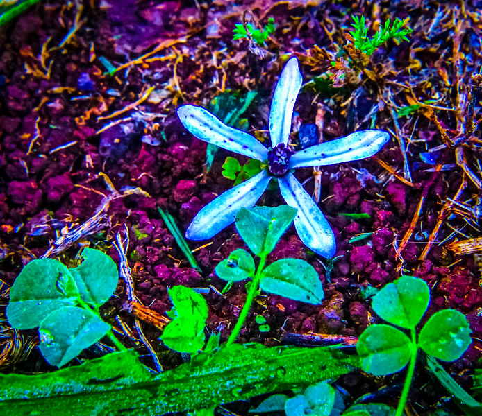 A Star Flower In Lava