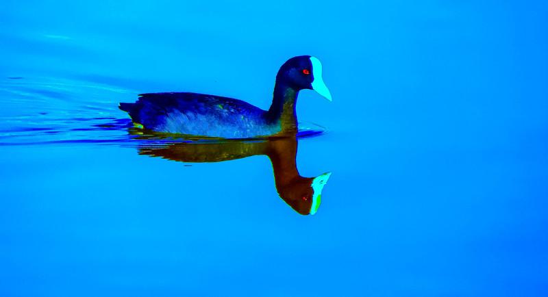 Duck On Kanaha Pond