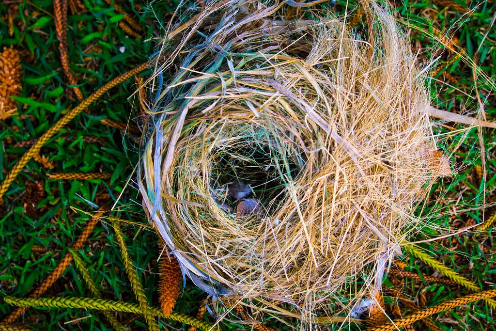 Bird Nest Dow