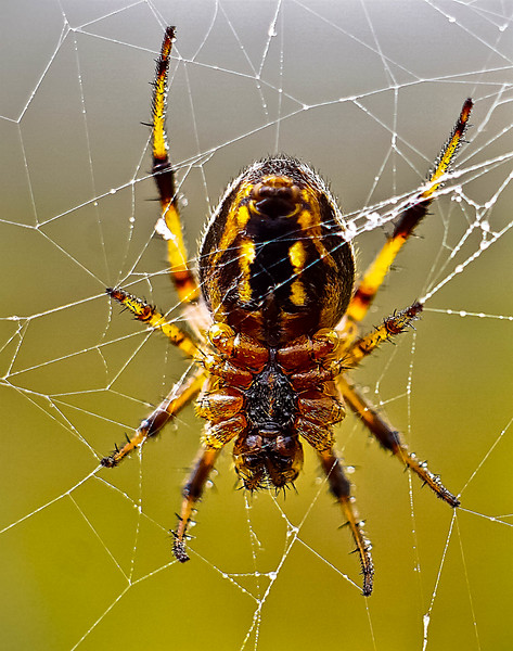 Haleakala Spider