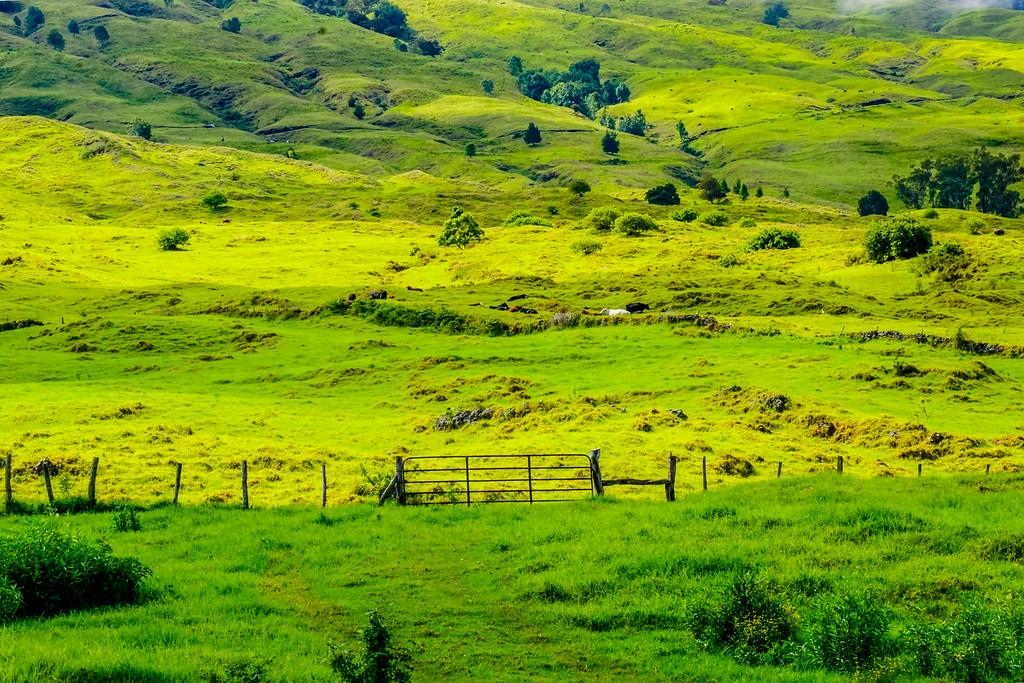 Haleakala Midday Cows