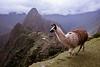 PERU -CUZCO - 14/04/2015 -   Llama delante de la ciudad INCA de Machu Pichu./ Llama standing in front of  the INCA city of Machu Pichu. / Peru : Blick auf die INCA - Stadt Machu Pichu im Nebel © Bruno Bertagna/LATINPHOTO.org