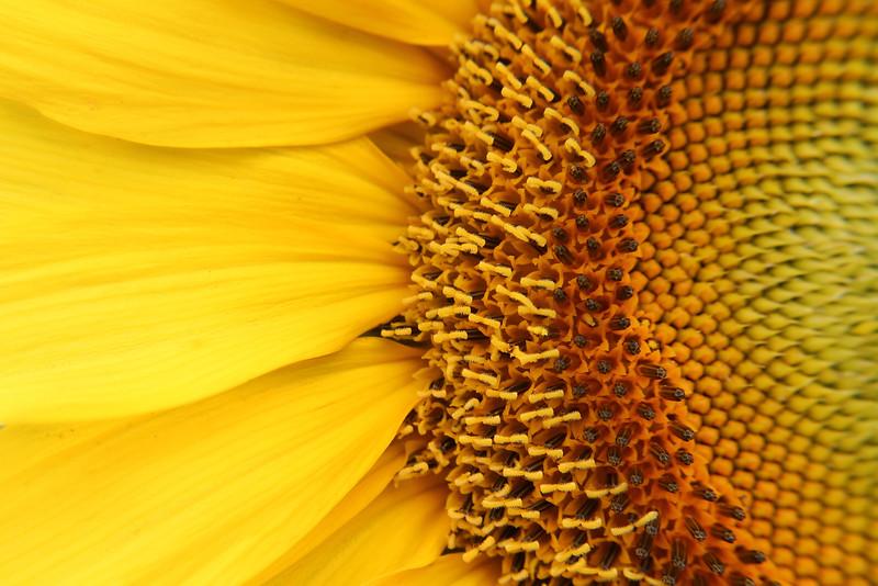 "Second Place Fine Art - 2015 Hal Fulgham Scholarship Contest - Lauren Franco - Trinity HS (Euless) - Instructor: Jeff Grimm - ""Sunflowers"""