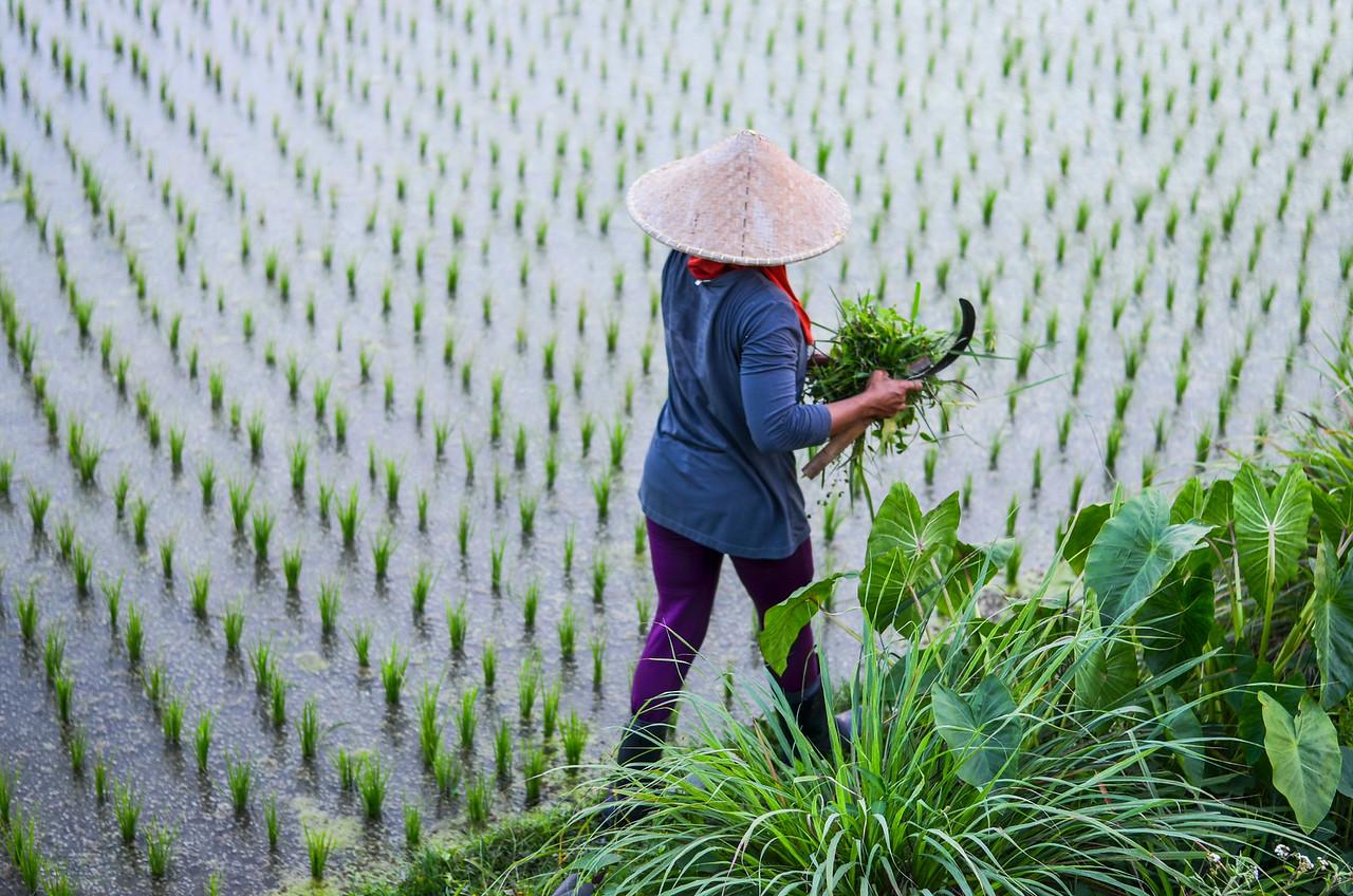 Rice farmer, Ubud, Bali