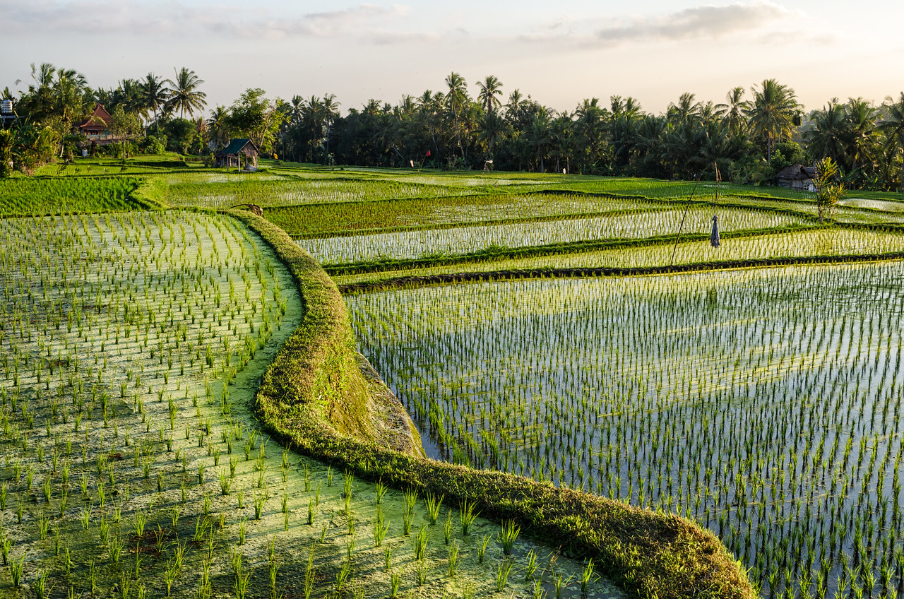 Rice fields, Bali