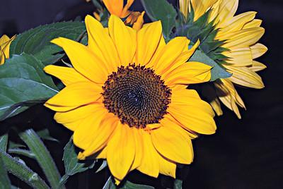 2016 07 09: Cut Flowers, Mini Sun Flowers, Brown-Eyed Susans; Perenials, Flower Beds