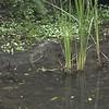 _DSC1579--FS Monitor Lizard