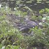 _DSC1556--FS Monitor Lizard