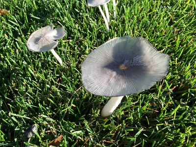 2016 09 14: Mushrooms growing in grass, UM Duluth