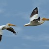1st - Don Mathieson - RePC - Pelicans in Flight