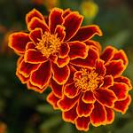 1st - Jim - Turner - RoPC - Pleasant -  Glowing Marigolds