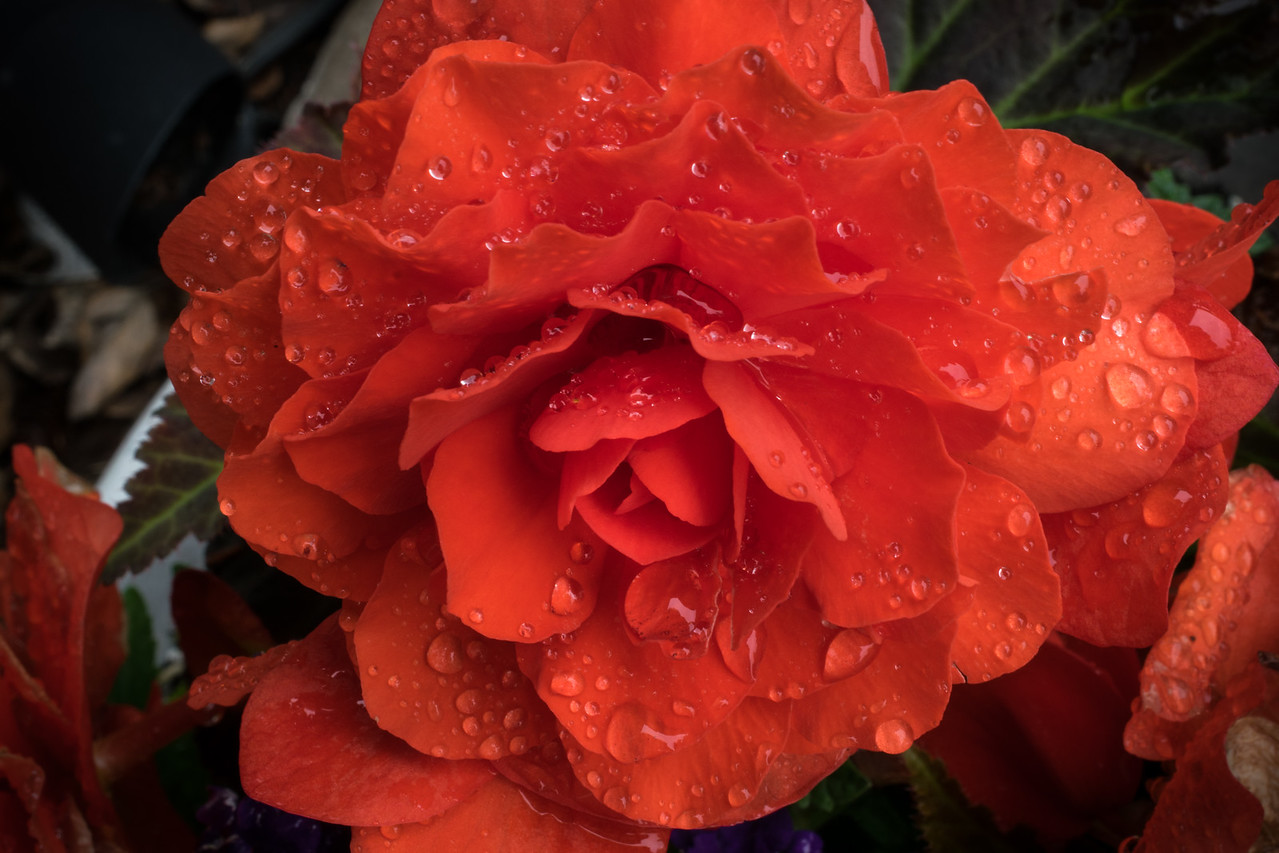 Begonia #1-f22--darkened corners