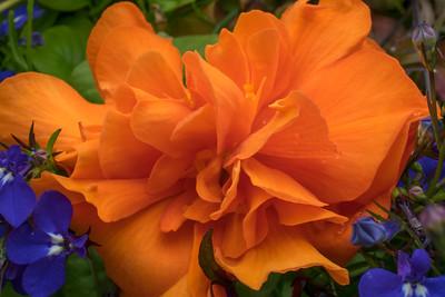 Begonia#3