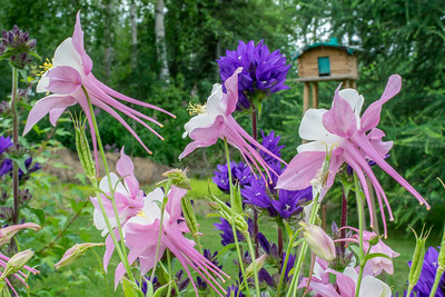 Columbine and Delphinium #1--Need to cut delphinium on the left.