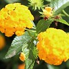Amazing Yellow Blooms