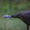 Long Neck Turkey NCW