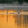 Swans, Morning Fog