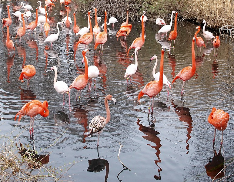 Greatest Flamingos of All