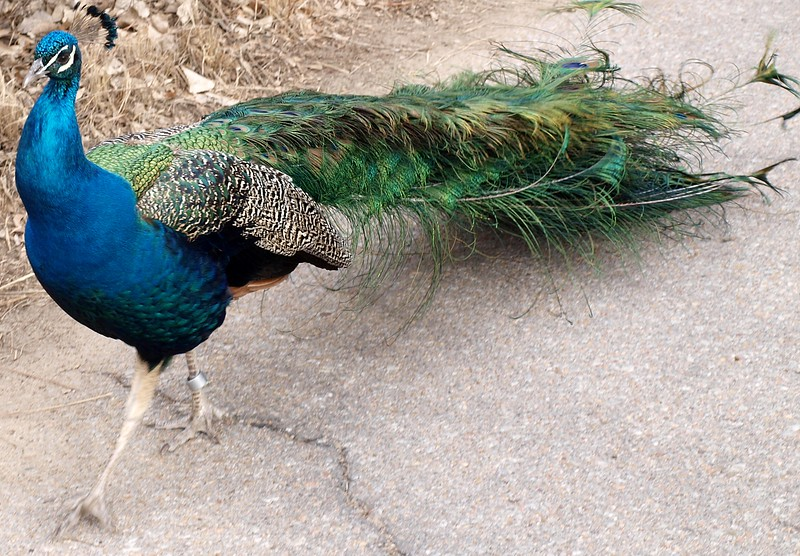 Sophisticated Peacock