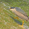 Blackcrowned  Night-Heron NCW