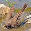 Bathing Robin NCW
