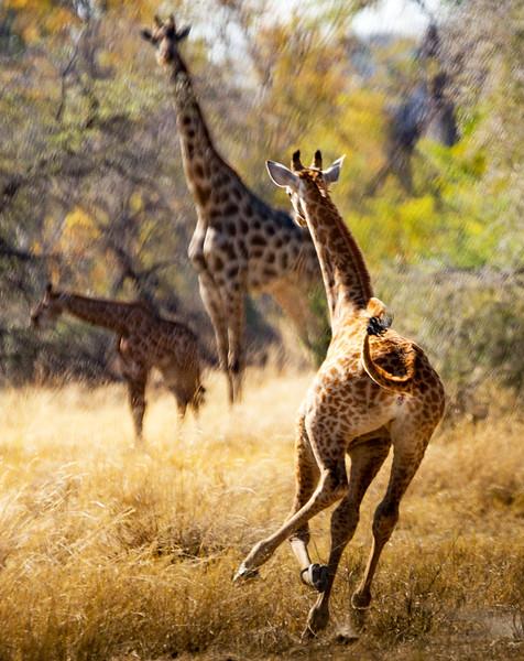 Giraffe in a Hurry-NCW