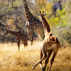 Giraffe in a Hurry-NCW
