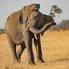 Young Male Elephant Challenges Safari Vehicle NCW