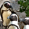African Penguins-NCW