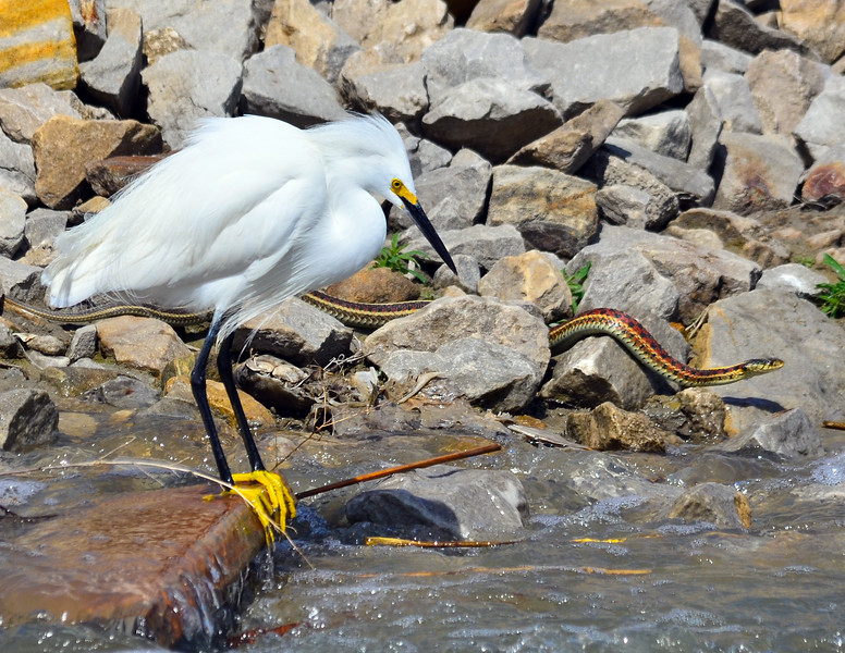 Snowy Egret and Snake NCW