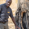 Tree species evolves to protect itself from elephants