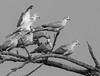 Doves in tree