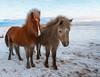 Iclandic Horses
