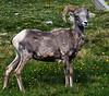 Big Horn Sheep Colorado