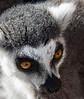 Ringed-tailed Lemur