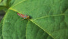 Red Banded Leafhopper