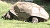 Gigantic Turtle is Resting