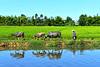 Rice Field near Hoi An, Vietnam