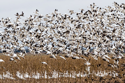 Snow Geese Blast Off by Deede Denton 10 points