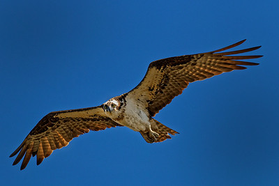 Osprey in Flight by Gary Emord 10 points