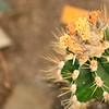 Cactus Ilse