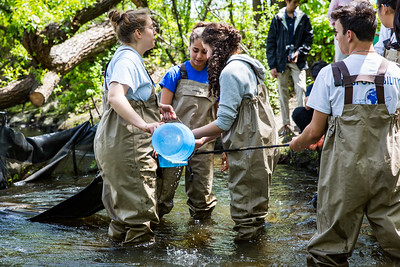 Collecting eels from the eel trap.