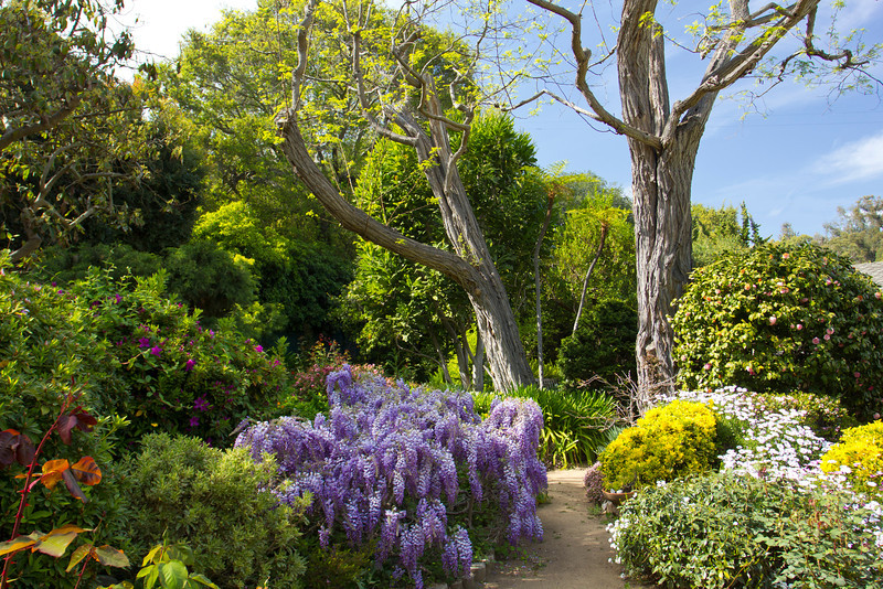 Late March Wisteria in bloom 2013