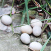 San Antonio Riverwalk- Duck Eggs